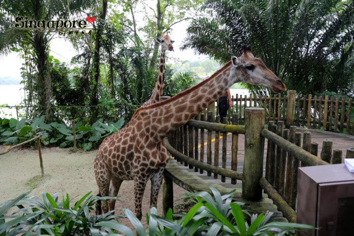 玩乐新加坡动物园singapore zo
