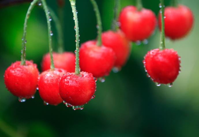 最近的樱桃采摘地 - 天神 - 天神的博客