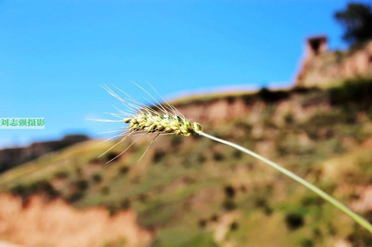 实拍 青海大山顶上农民用镰刀割麦子