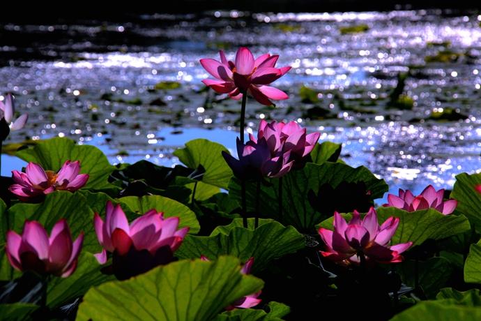 炎炎夏日,到哈尔滨万顷松江湿地来乘凉 - H哥 - H哥的博客