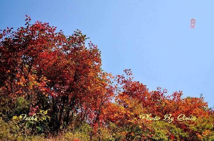 【原创影记】齐鲁观红叶——济南红叶谷2 - 古藤新枝 - 古藤的博客