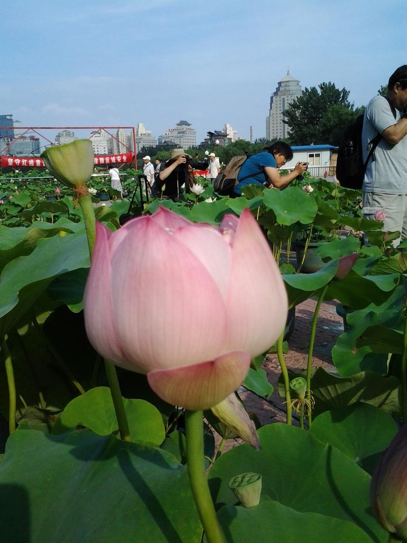荷花 ---游北京莲花池公园摄影8 - 风景如画 - 风景如画的博客