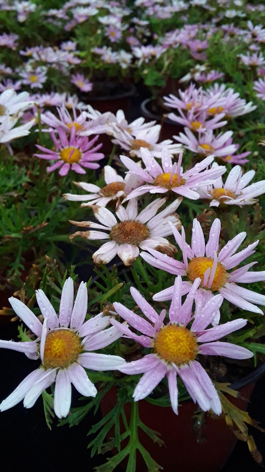 赏花之:雏菊 - 淡淡云 - 淡淡云