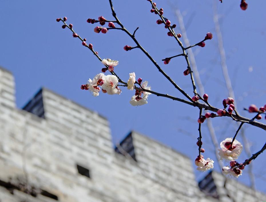 北京城里春风来,明城墙下梅花开-2015明城墙遗址梅花节 - 侠义客 - 伊大成 的博客