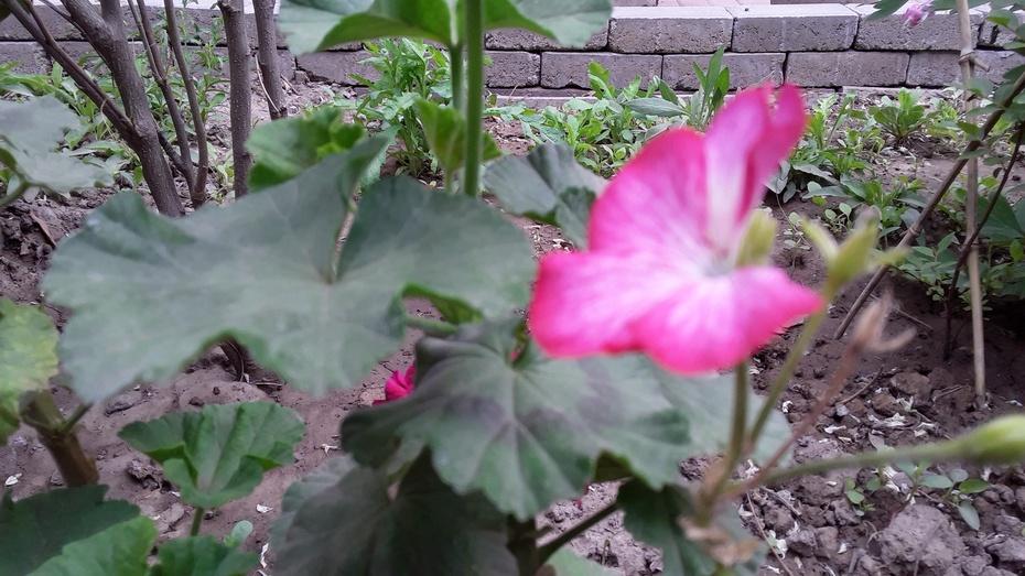 香牡丹与臭海棠 - 淡淡云 - 淡淡云