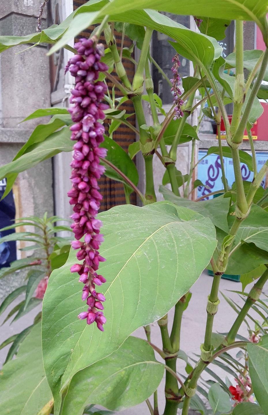 赏花之:尾穗苋 - 淡淡云 - 淡淡云