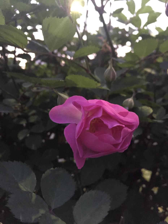 家门口的赏花记 - 蔷薇花开 - 蔷薇花开的博客