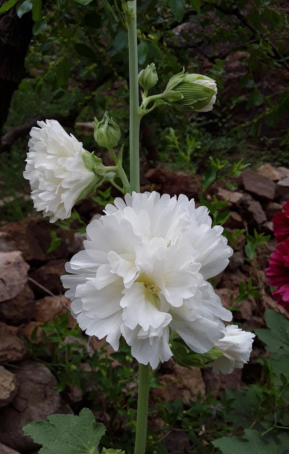 赏花之:蜀葵 - 淡淡云 - 淡淡云