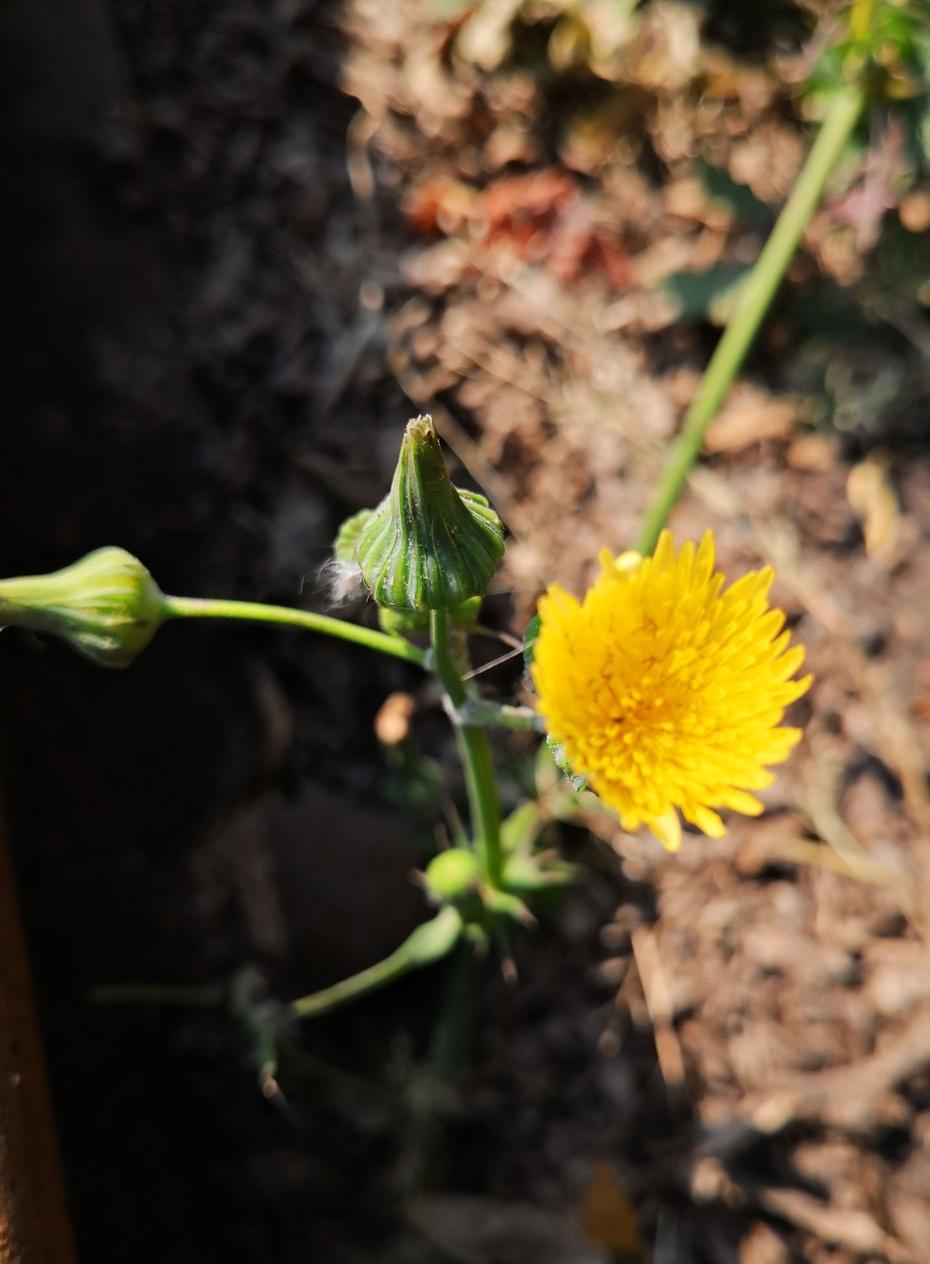 赏花之:花叶颠苦菜 - 淡淡云 - 淡淡云