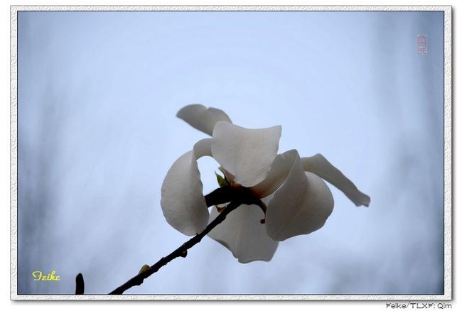 【原创摄影】春日花片——玉兰花4 - 古藤新枝 - 古藤的博客