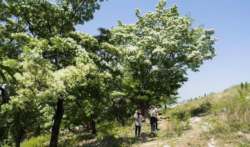 青州雀山千年流苏林 - 古藤新枝 - 古藤的博客