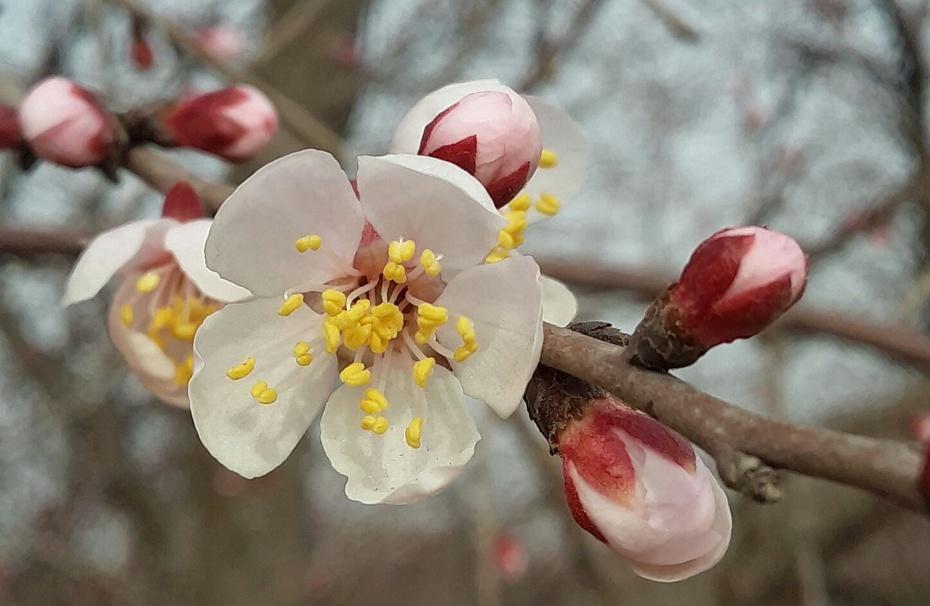 杏花在绽放 - 淡淡云 - 淡淡云