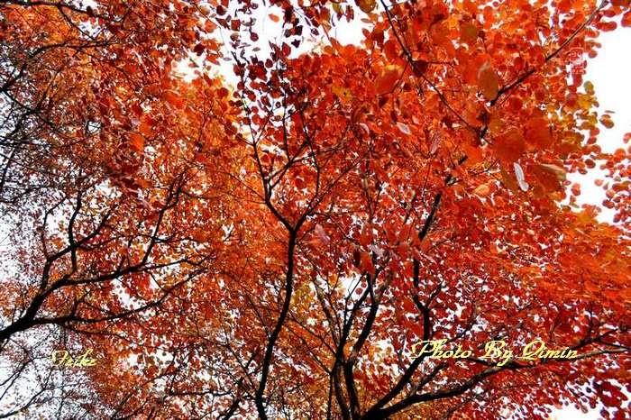 【原创影记】齐鲁观红叶——青州曹家庄3 - 古藤新枝 - 古藤的博客
