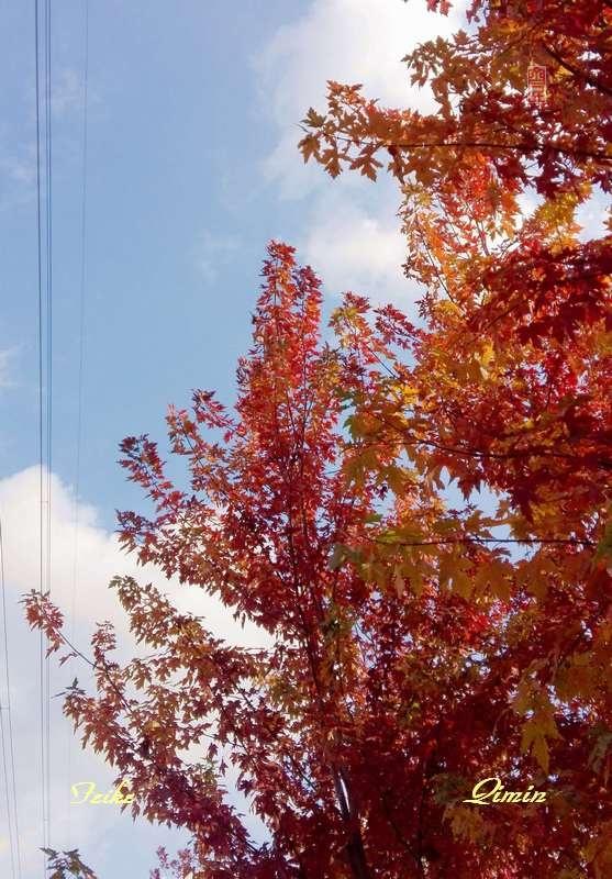 【原创影记】路观树叶红 - 古藤新枝 - 古藤的博客