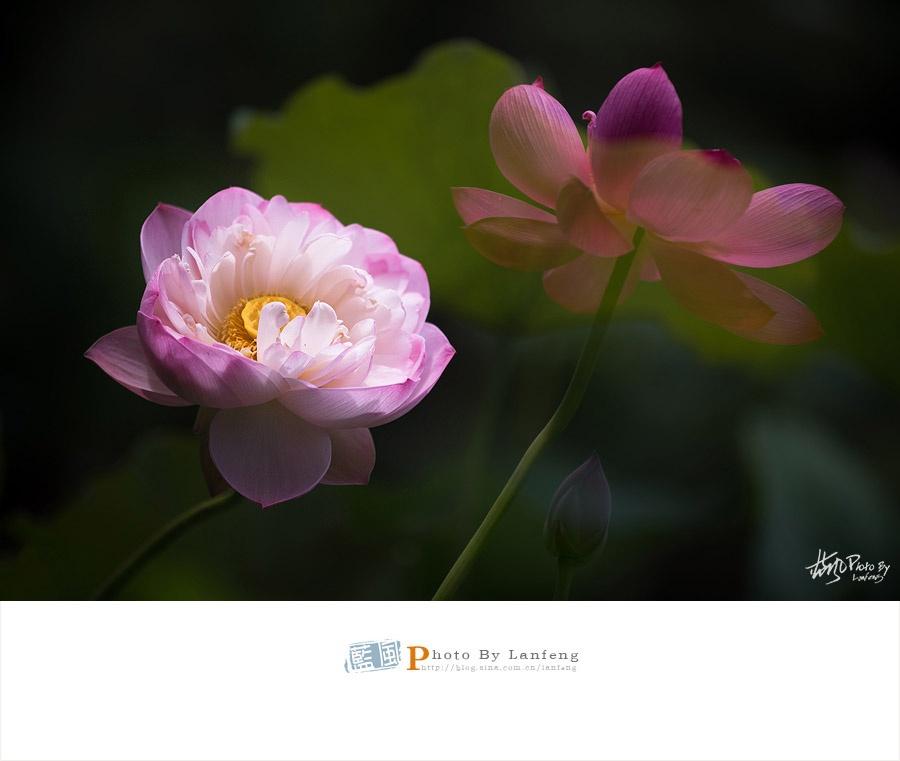 【荷风雅韵】2016第四届上海荷花睡莲展 - 蓝风 - 蓝风的图像家园