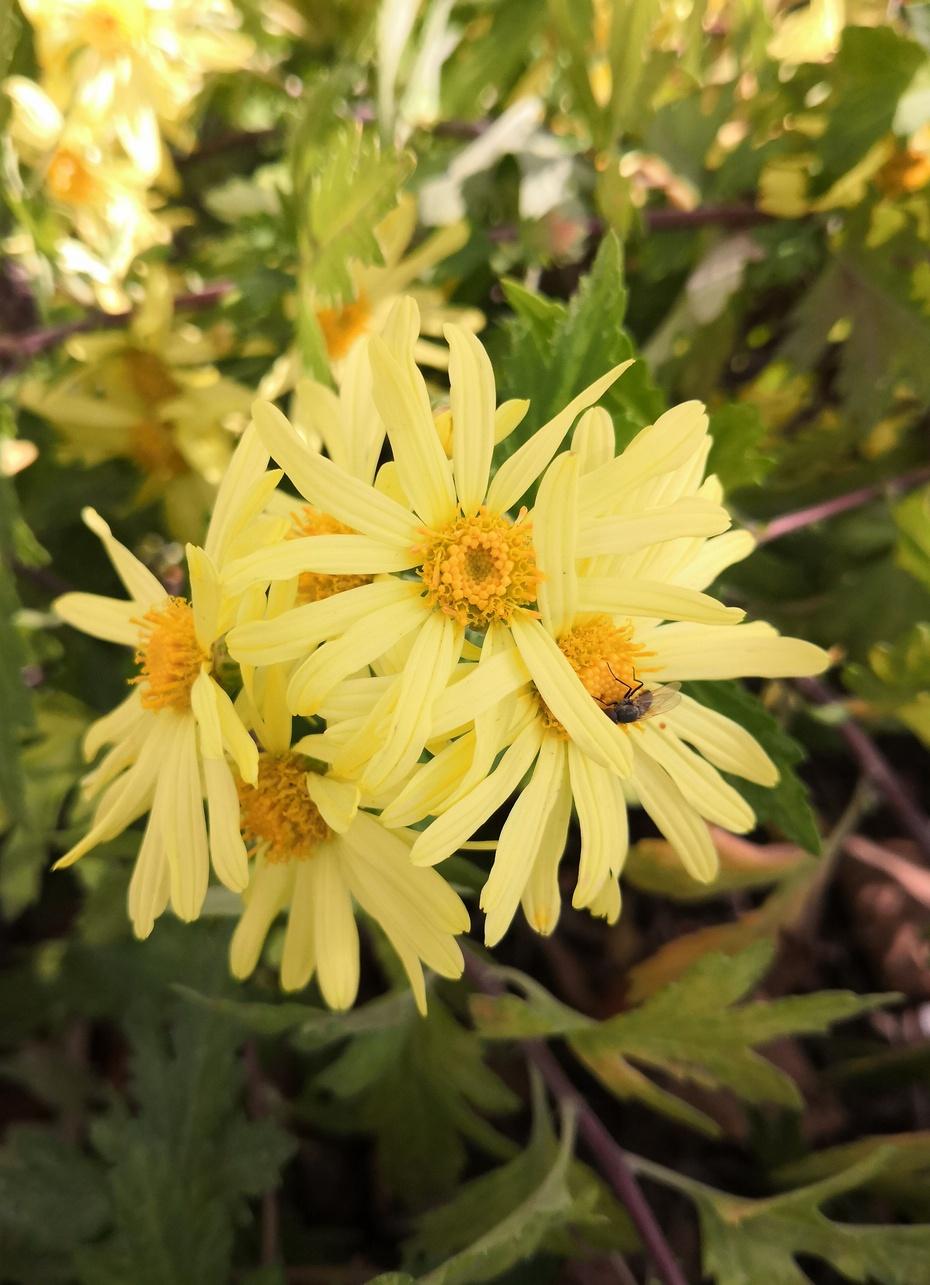 赏花之:秋菊 - 淡淡云 - 淡淡云