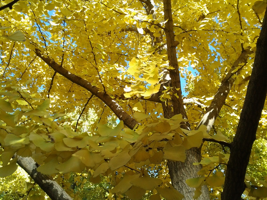 银杏黄——北京日坛公园游记1 - ydq200888 - ydq200888的博客