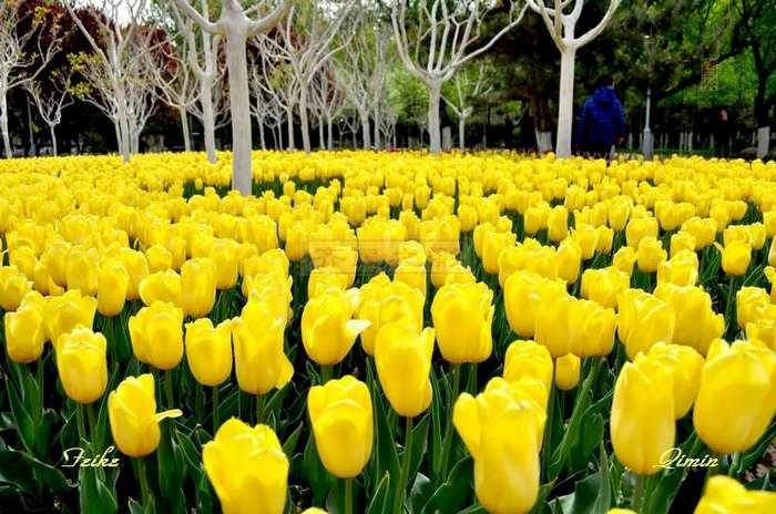 【原创影记】郁金香 艳公园 - 古藤新枝 - 古藤的博客