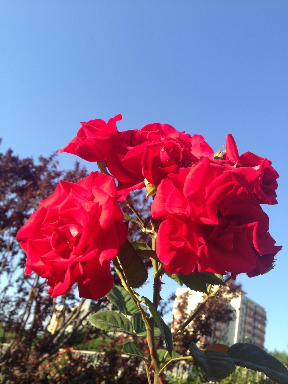 五月北京 月季争艳 - 余昌国 - 我的博客