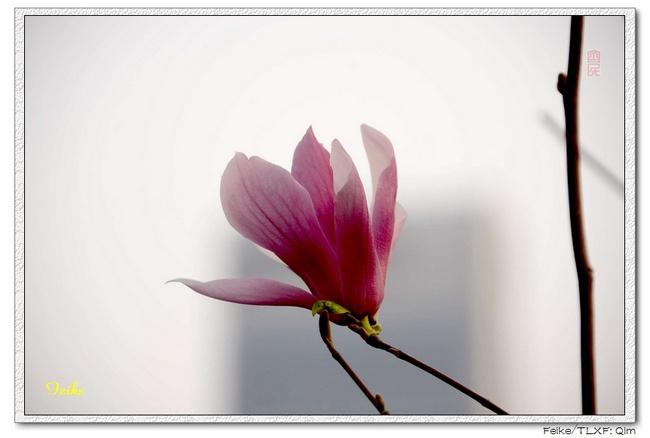 【原创摄影】春日花片——玉兰花1 - 古藤新枝 - 古藤的博客