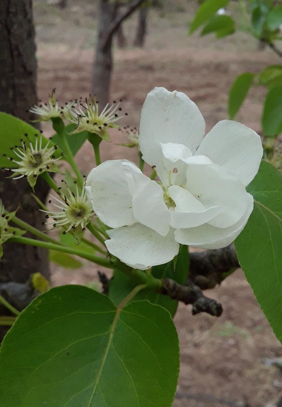 骑行梨树沟,寻最后的梨花 - 淡淡云 - 淡淡云