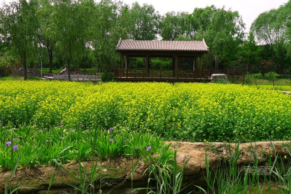 【初夏】北京油菜花貌似江南水乡 - 下午茶馨 - 下午茶馨网易博客