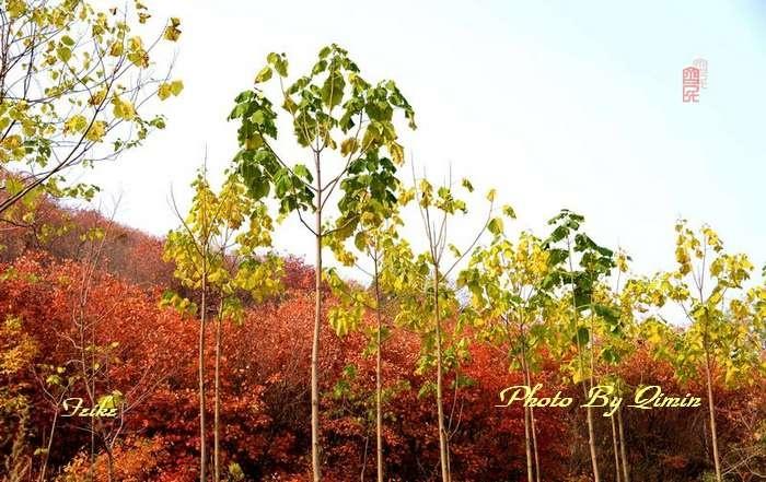 【原创影记】齐鲁观红叶——青州大牟西1 - 古藤新枝 - 古藤的博客