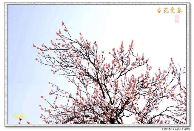 【原创摄影】春日花片——杏花篇3 - 古藤新枝 - 古藤的博客