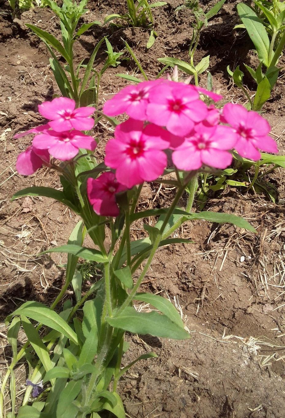 赏花之:石竹花 - 淡淡云 - 淡淡云