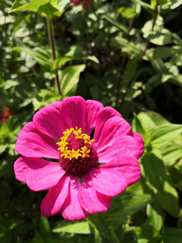赏花之:再拉百日菊 - 淡淡云 - 淡淡云