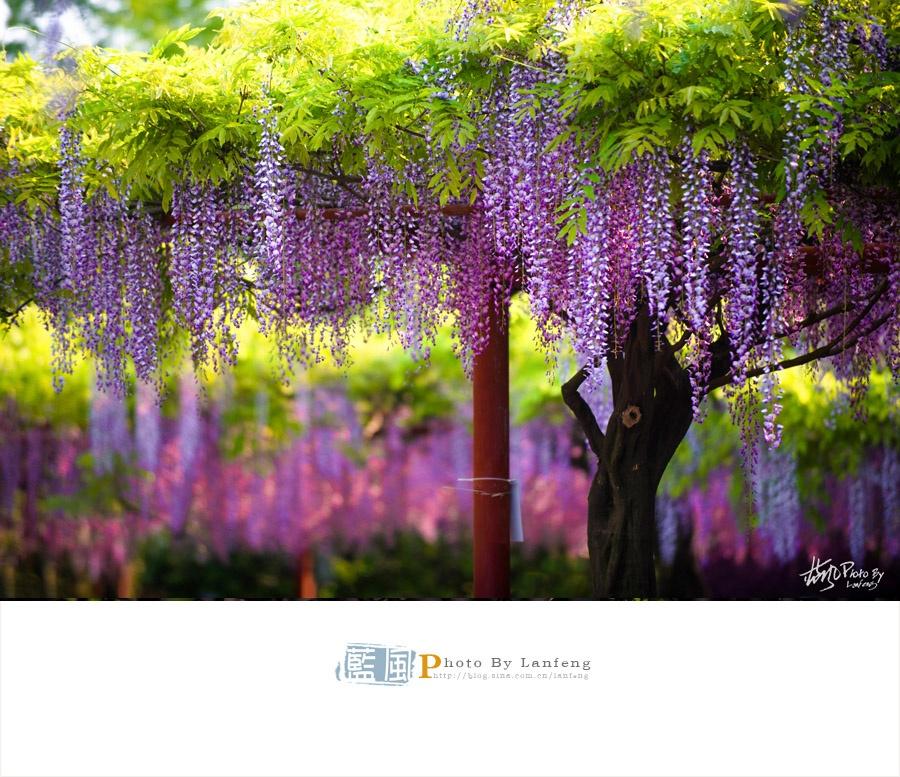 【上海最美紫藤】浪漫梦幻的紫色花园 - 蓝风 - 蓝风的图像家园