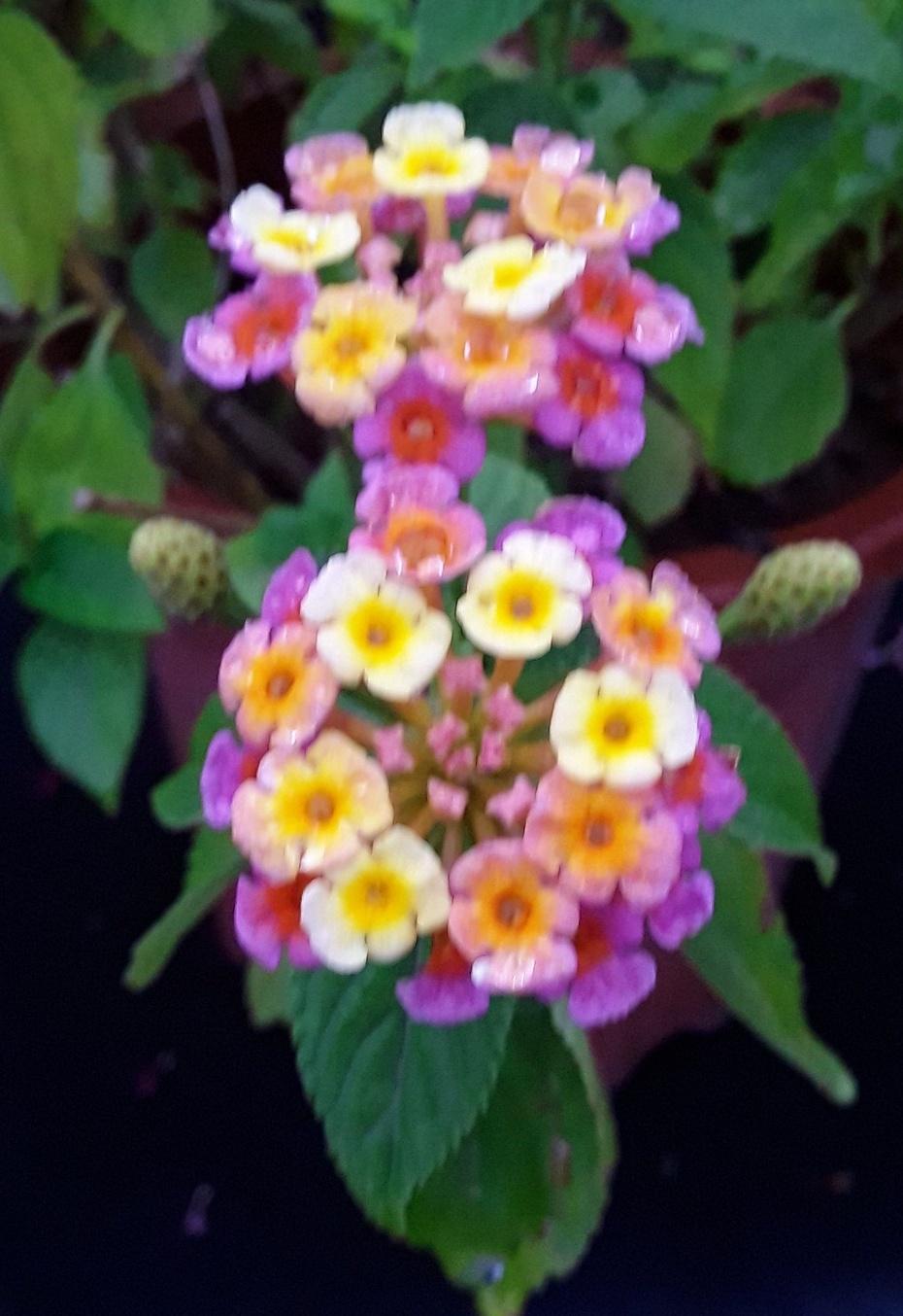 赏花之:五彩花 - 淡淡云 - 淡淡云