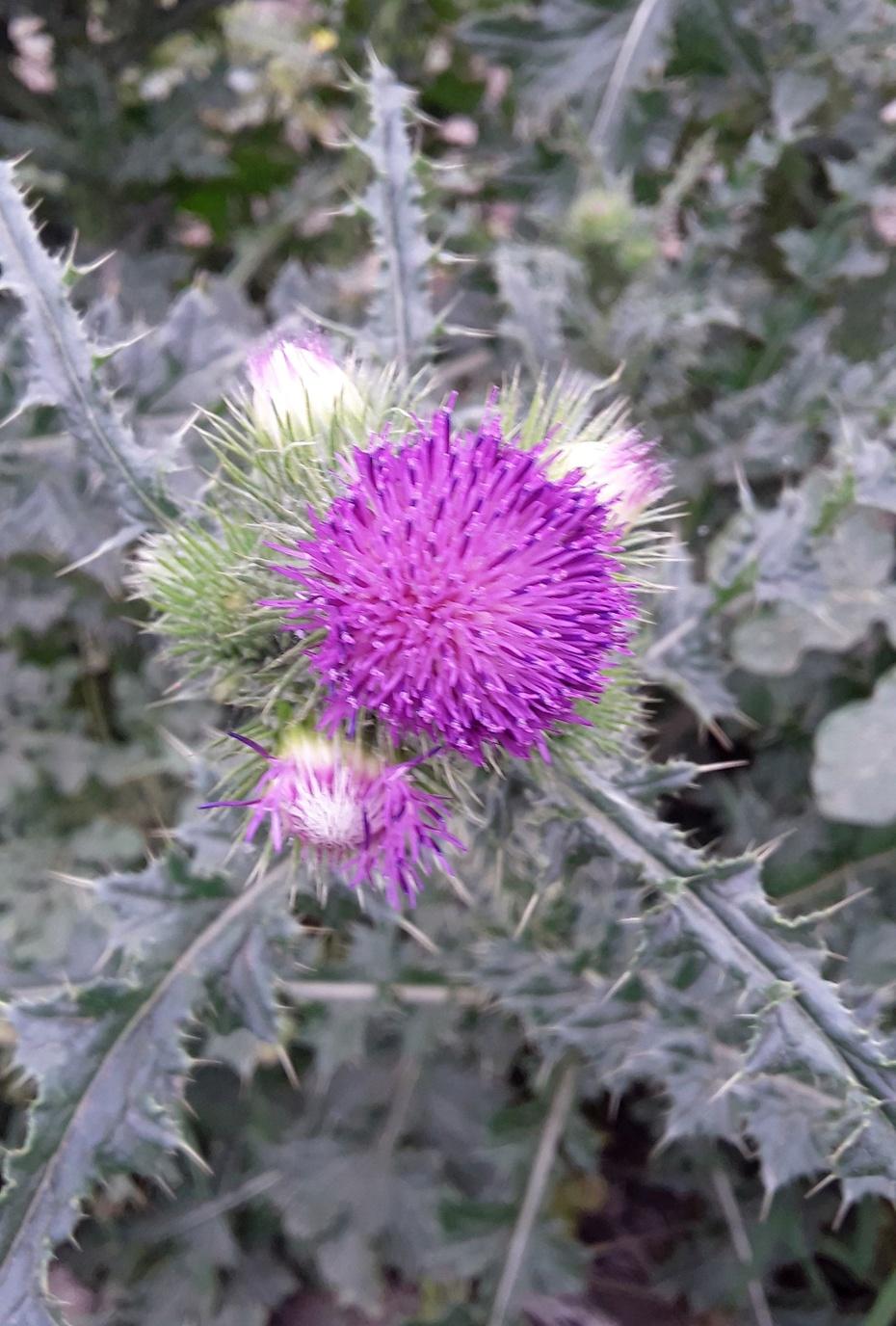 赏花之:刺儿菜花 - 淡淡云 - 淡淡云