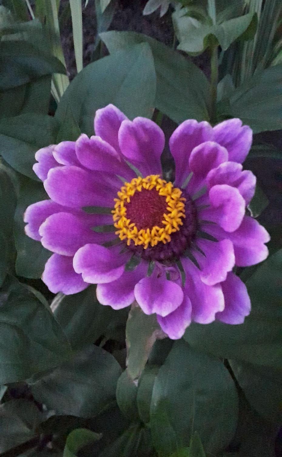 赏花之:百日菊 - 淡淡云 - 淡淡云