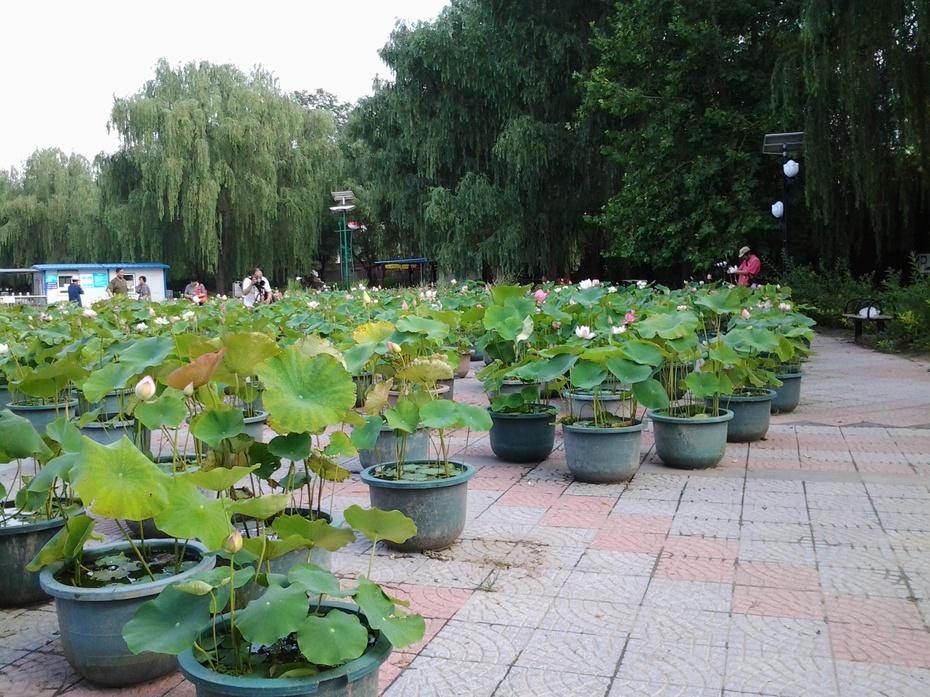 荷花 ---游北京莲花池公园摄影7 - 风景如画 - 风景如画的博客