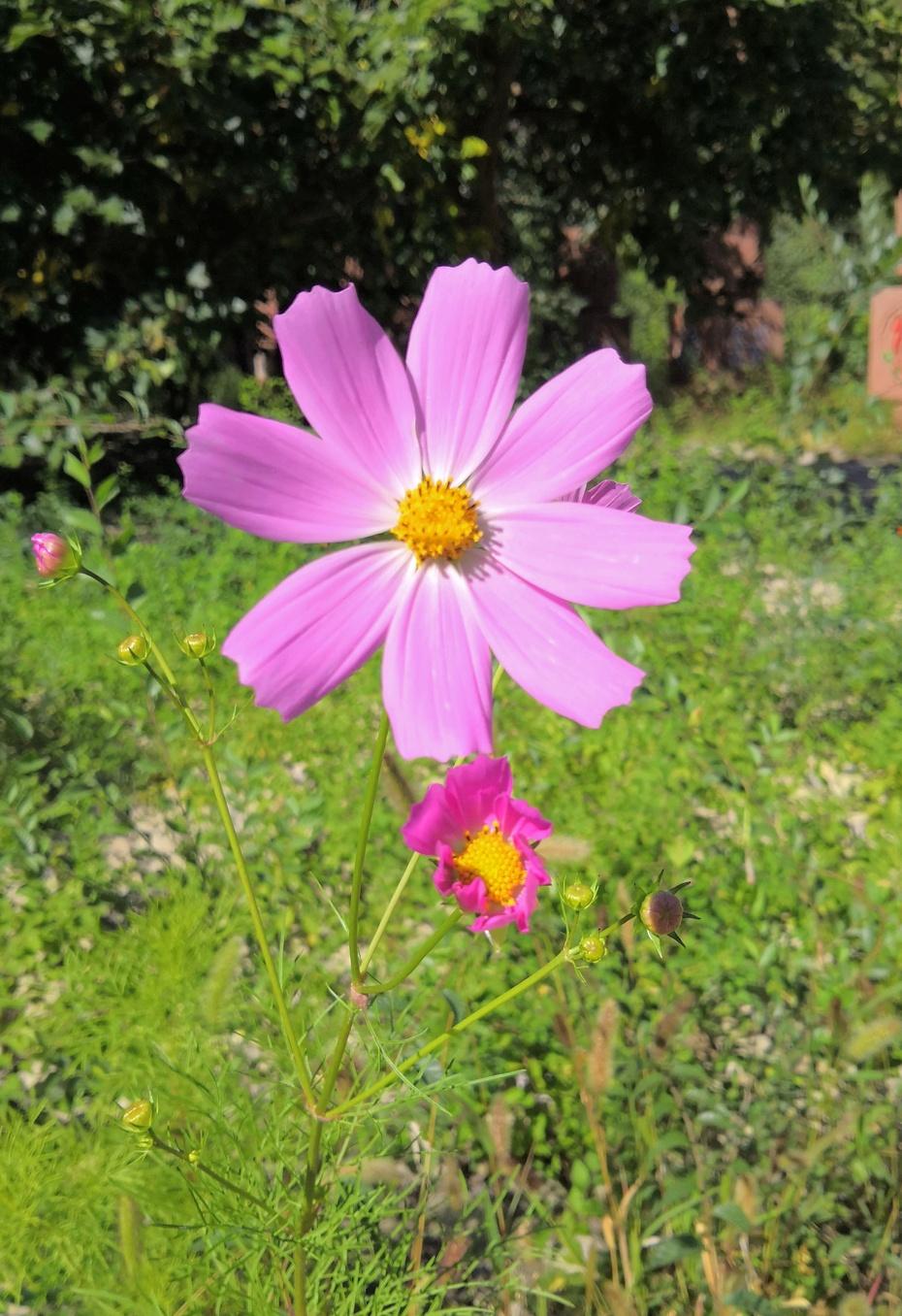 赏花之:格桑花 - 淡淡云 - 淡淡云