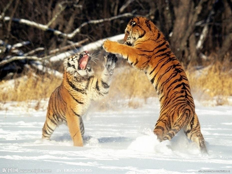 为了防止猴子被老虎伤害,古树之间拉上了铁索或者绳梯.