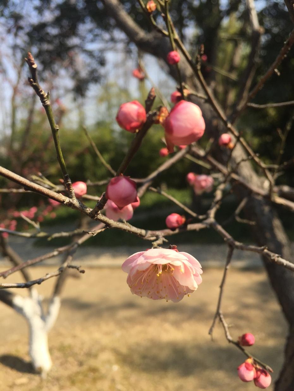 梅园访梅 - 蔷薇花开 - 蔷薇花开的博客