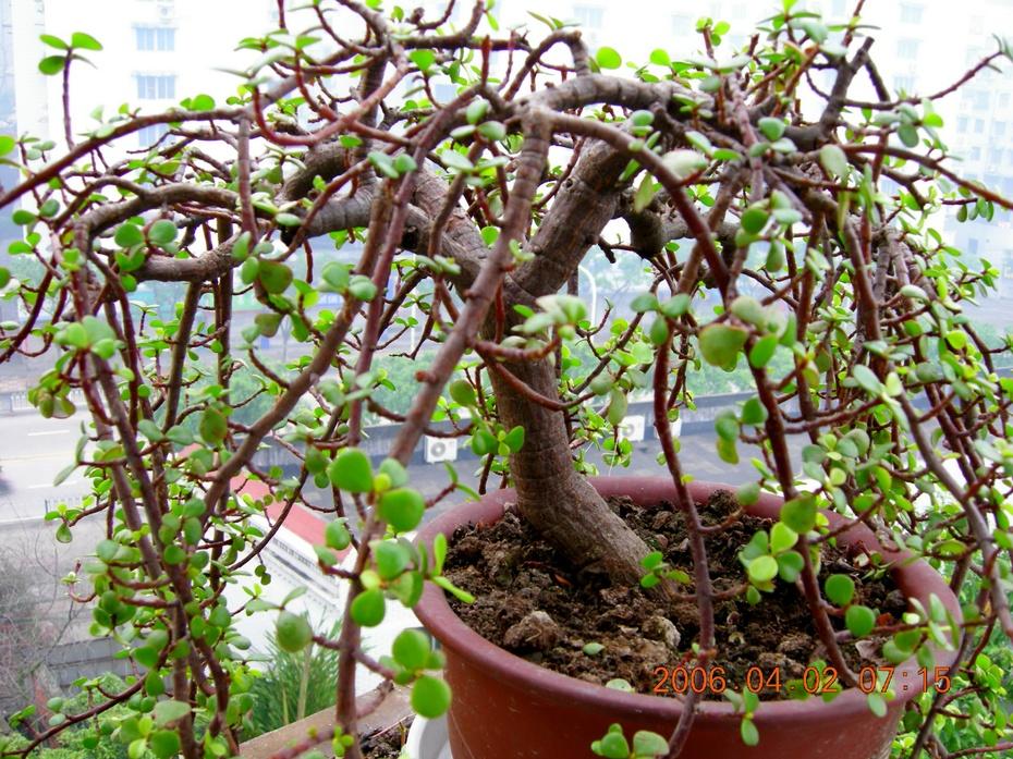 我家的阳台(3)金钱树