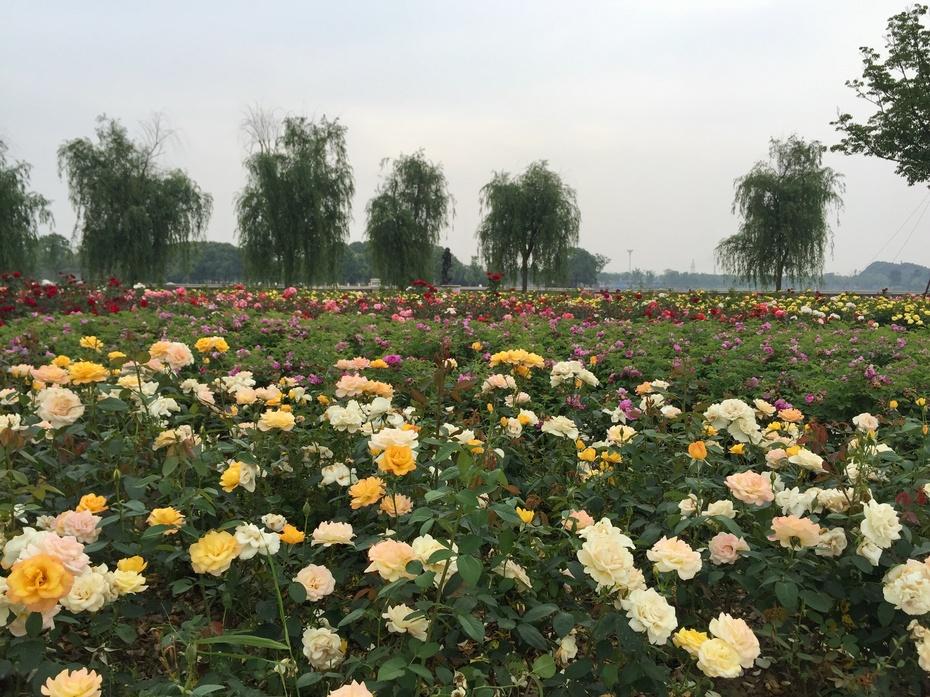 胜地花开花满天 - 蔷薇花开 - 蔷薇花开的博客