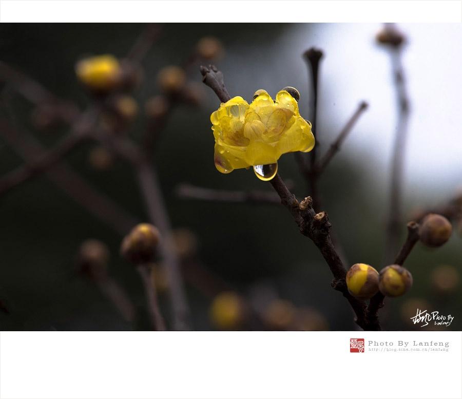 【上海】蜡梅花开,暗香浮动 - 蓝风 - 蓝风的图像家园