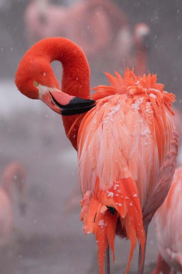 雪中绝美的火烈鸟(组图) - 心路独舞 - 心路独舞