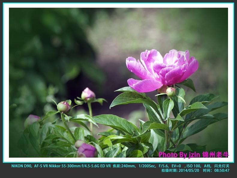 【摄影园地】——芍药花开 - 锦州老牛 - 锦州老牛的博客