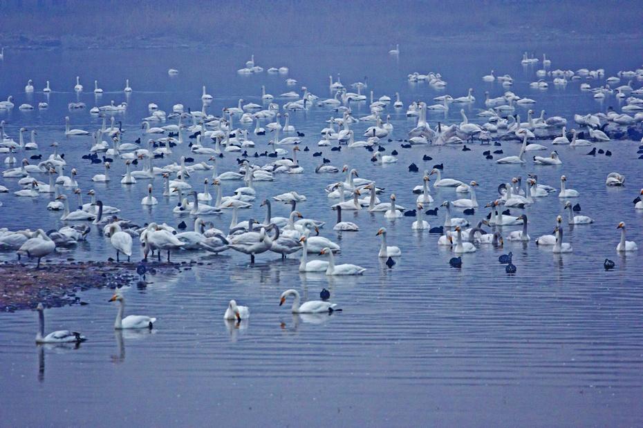 天鹅湖天鹅凌晨活泼,三门峡大坝黄河日落--隆冬豫晋游之六 - 侠义客 - 伊大成 的博客