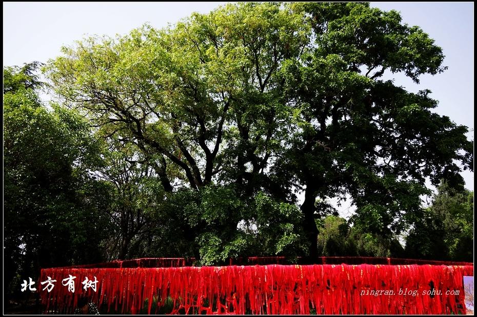 杨贵妃植下的相思树