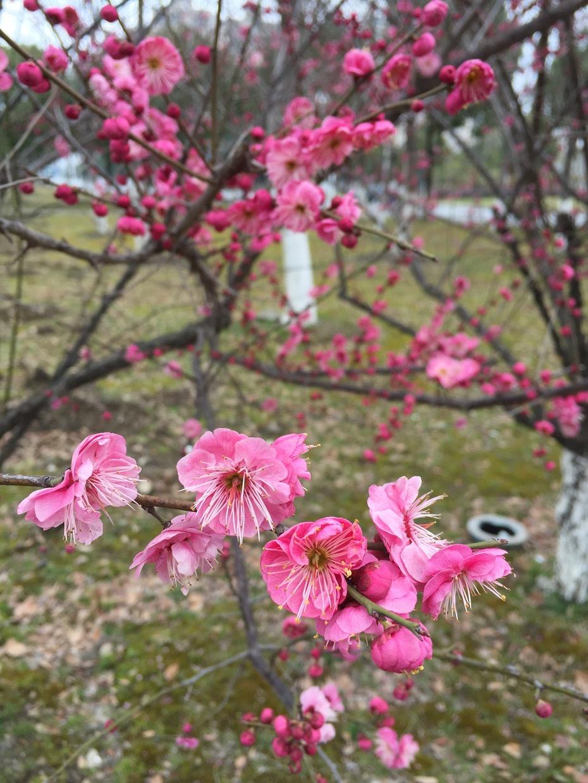 苏州河赏梅 - 蔷薇花开 - 蔷薇花开的博客