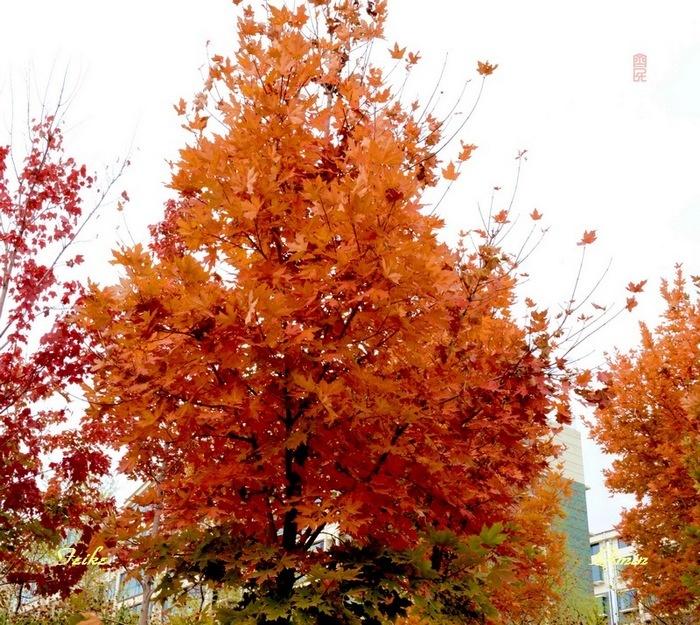 【原创影记】路观枫叶红2 - 古藤新枝 - 古藤的博客