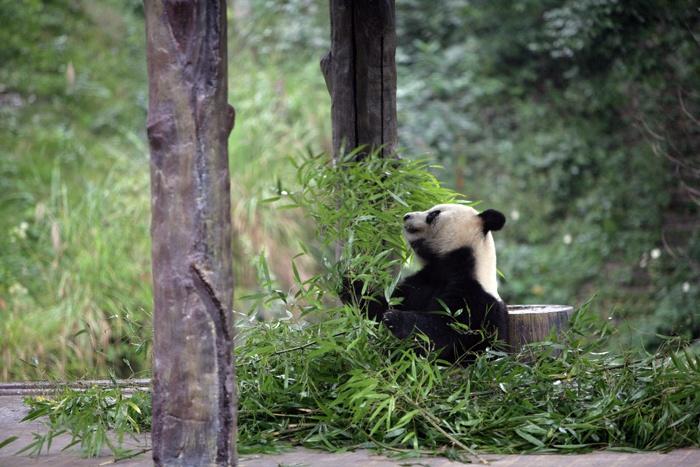 写真碧峰峡大熊猫 - 海军航空兵 - 海军航空兵