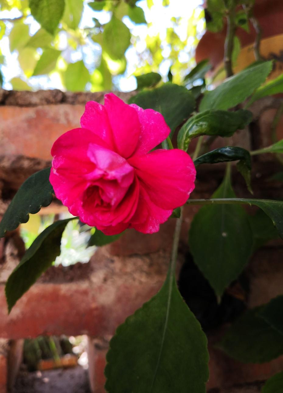 赏花之:凤仙花 - 淡淡云 - 淡淡云