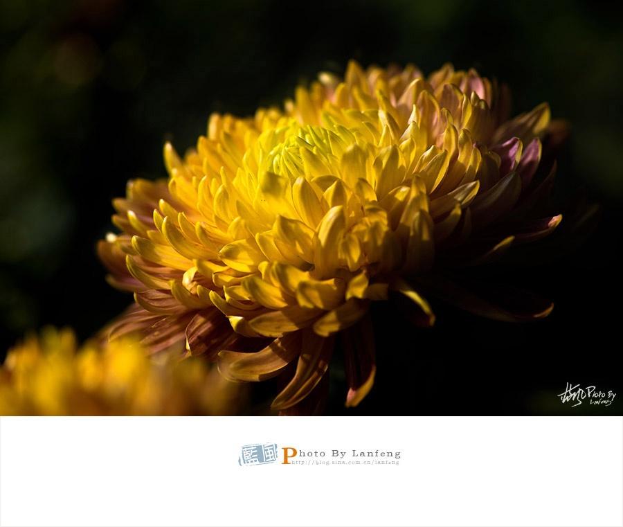 【赏菊】冲天香阵透魔都,满城尽带黄金甲 - 蓝风 - 蓝风的图像家园